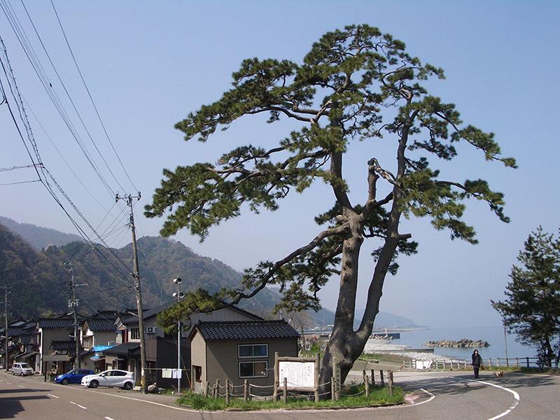 海道の松(糸魚川市文化財)