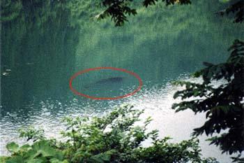 高浪の池 巨大魚の魚影