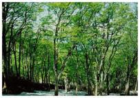 黄蓮ブナ林の新緑