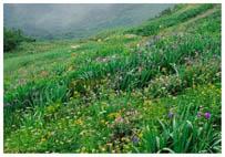 アヤメ平のお花畑
