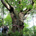 専門ガイドと行くブナ林と天然スギの森