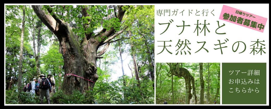 ブナ林と天然スギの森